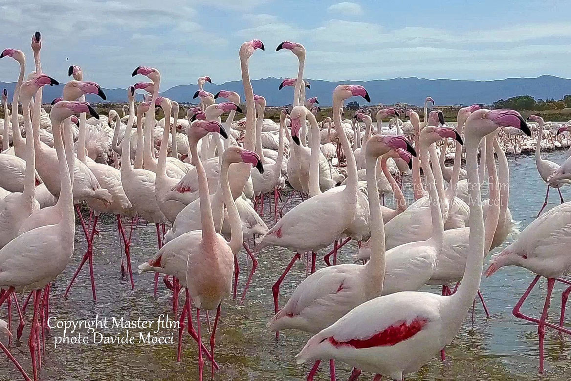 Szardínia, flamingók